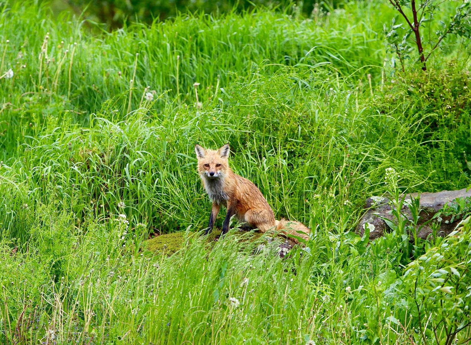 Sanctuary at SHO: redefining animal agriculture | partnering with wildlife, like this red fox, to steward non-harming perennial food systems while ensuring safe & healthy habitat
