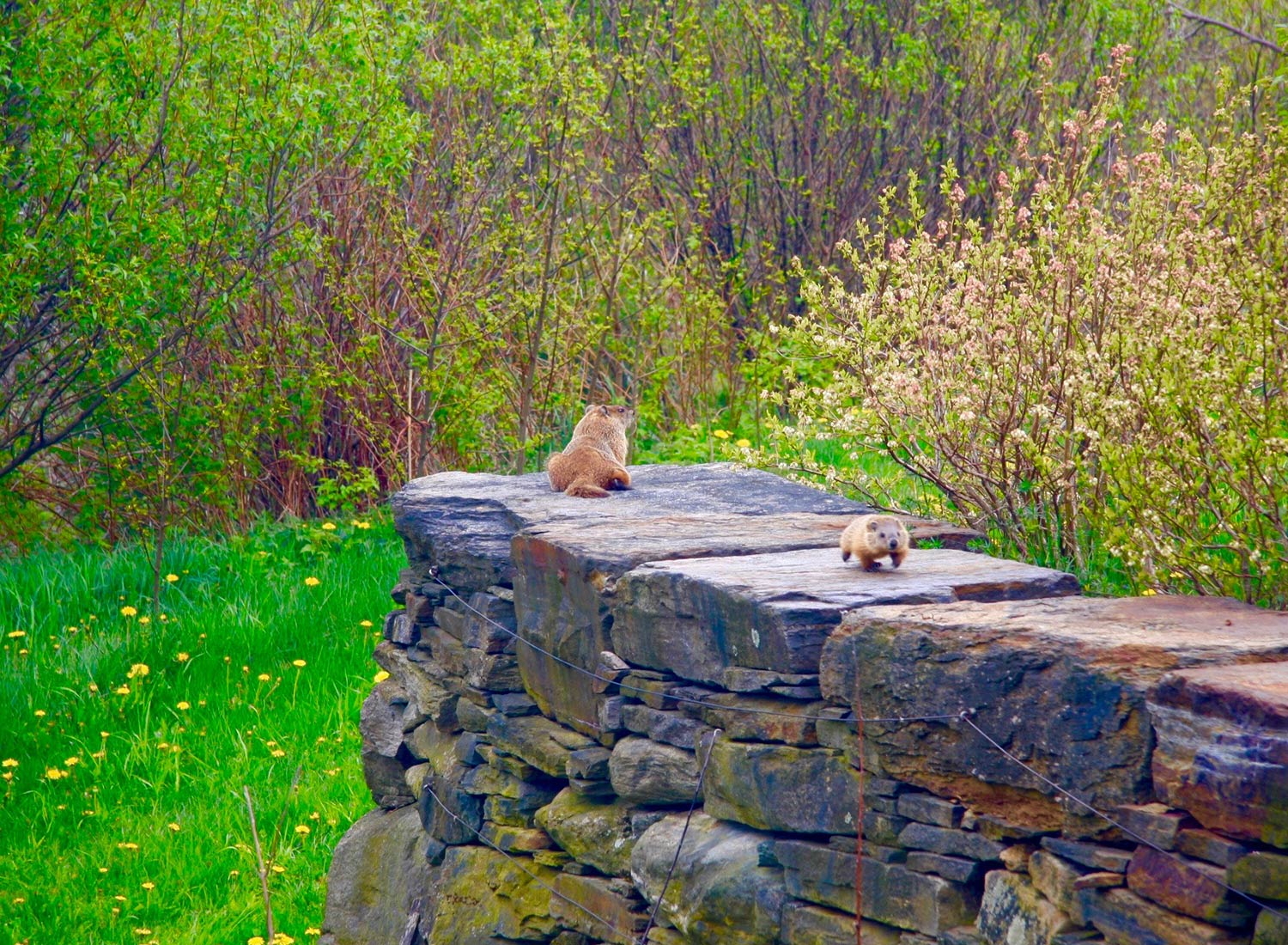 Sanctuary at SHO: redefining animal agriculture | partnering with wildlife, like this woodchuck mother and her offspring, to steward non-harming perennial food systems while ensuring safe & healthy habitat