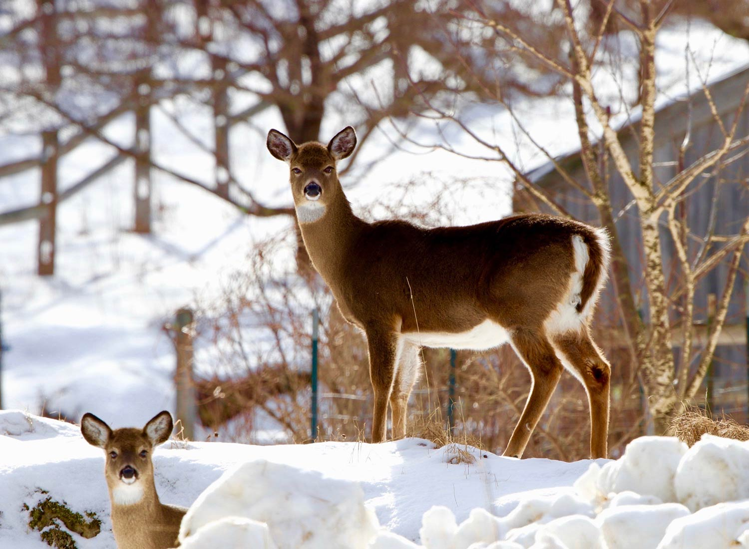 Sanctuary at SHO: redefining animal agriculture | partnering with wildlife, like the white tail deer, to steward non-harming perennial food systems while ensuring safe & healthy habitat